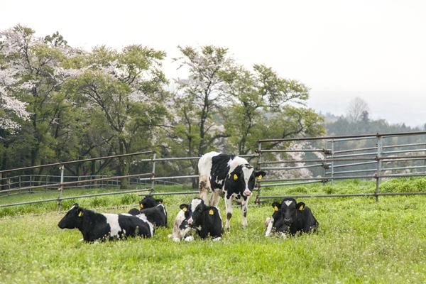 牛も放牧されており、まさに牧場そのもの。