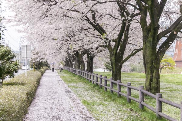訪れた日は4月の中頃。関東では葉桜が目立つ時期でしたが、ここは桜並木が満開という幸運!