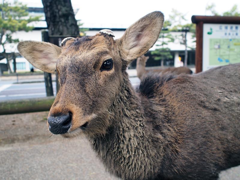 奈良公園周辺の鹿は野生動物で国の天然記念物。世界遺産・春日大社の神使でもあります。