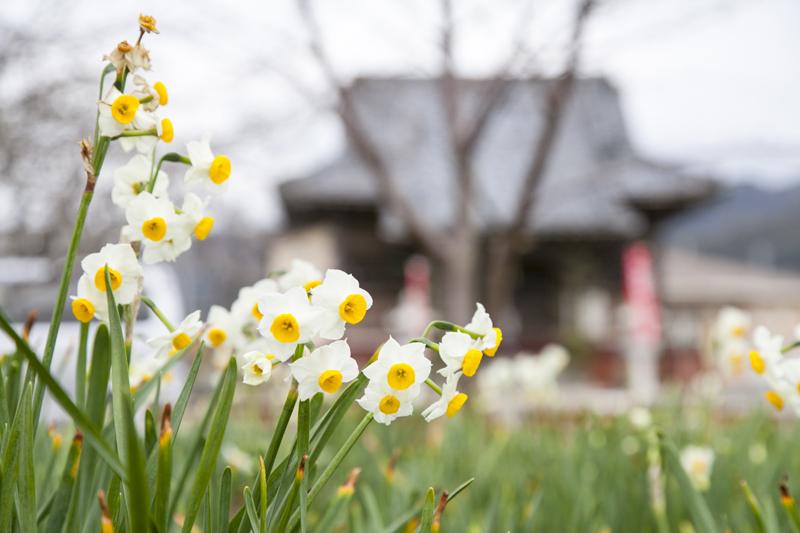 花の見頃は12月末〜1月末。2月7日まで「水仙まつり」も催されています。