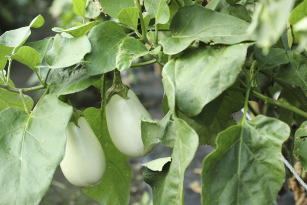 ロマネスコやカリフローレなど西洋野菜の他、赤いオクラ、カラーピーマン、白ナス、などの珍しい野菜も育てられています。